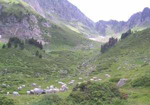 Cows in the Montains in Summer
